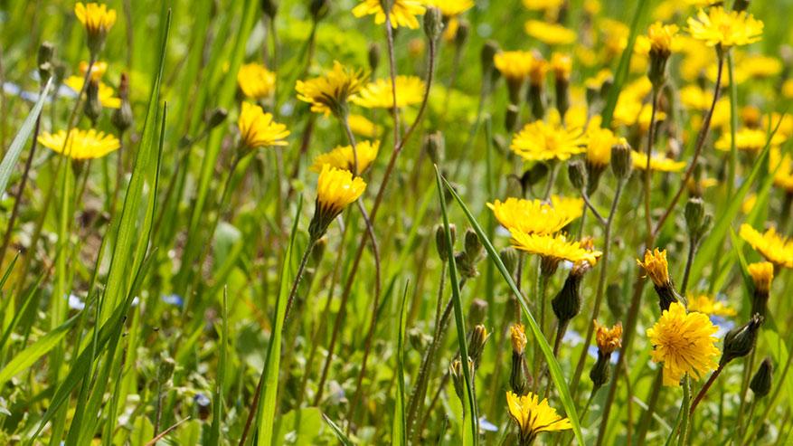 Come realizzare un infuso fresco, passeggiando tra erbe spontanee