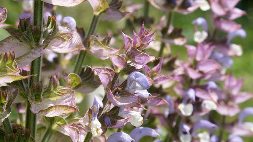 Salvia sclarea: proprietà e usi dell'Acqua aromatica