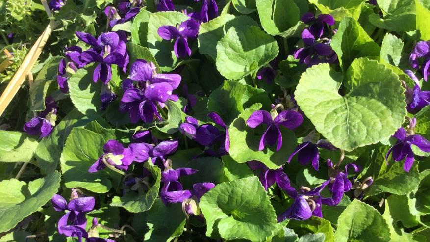 Incontri con le erbe: la Viola mammola
