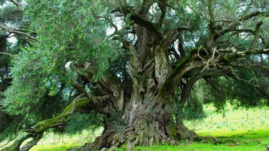Visita gli alberi secolari in Italia