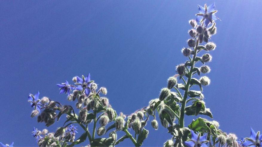 Incontri con le erbe: la Borragine