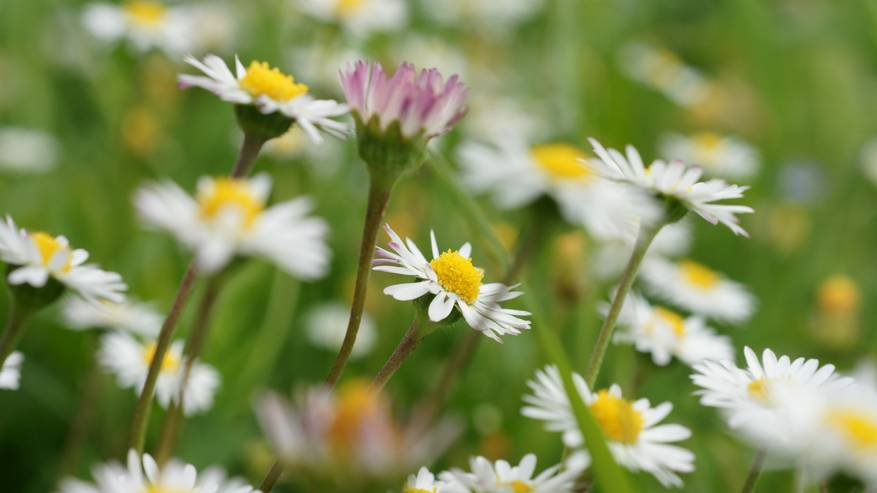 Incontri con le erbe: la Pratolina