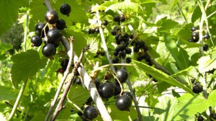 Ribes nigrum: un alleato naturale contro l'allergia