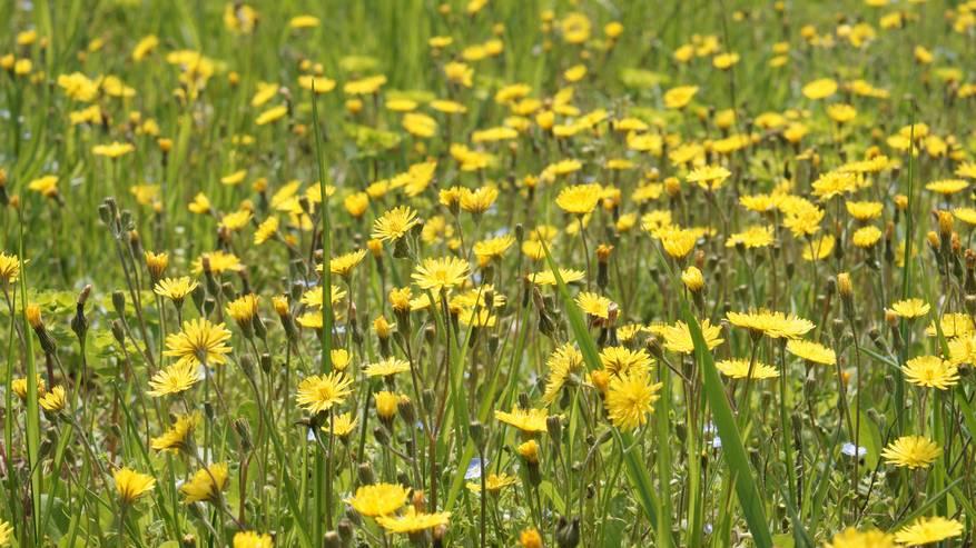 Incontri con le erbe: il Tarassaco